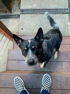 Wanted: LOST - Blue Heeler - Franki