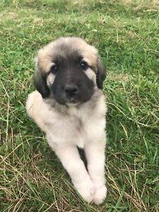 Mix Kangal puppies!