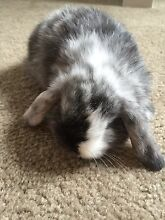 Last two mini lops baby rabbits for sale, cute bunny Denistone Ryde Area Preview