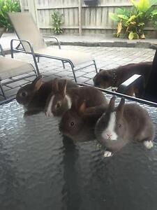 Netherland Dwarf bunny rabbits x4 Seaford Frankston Area Preview