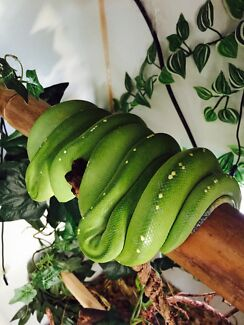 Pair Green Tree Pythons For Sale  Upper Coomera Gold Coast North Preview