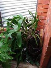 Dendrobium Speciosum - Sydney Rock Orchid w flower buds Mount Lawley Stirling Area Preview