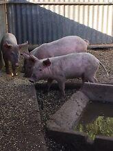 Boar pigs Mallala Mallala Area Preview