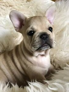 French Bulldog Puppy Marsden Park Blacktown Area Preview