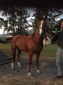 Thoroughbred mare  Nerang Gold Coast West Preview