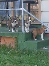 6 Siberian Husky X Staffy Puppies For Sale Whalan Blacktown Area Preview