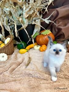 Beautiful TICA Registered Ragdoll Kittens!!