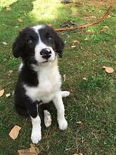 Border Collie Pups Benalla Benalla Area Preview