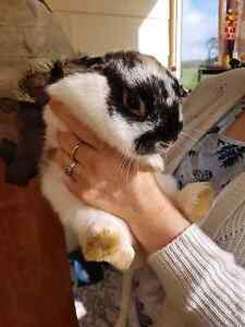 Rabbits For Sale Greenvale Hume Area Preview