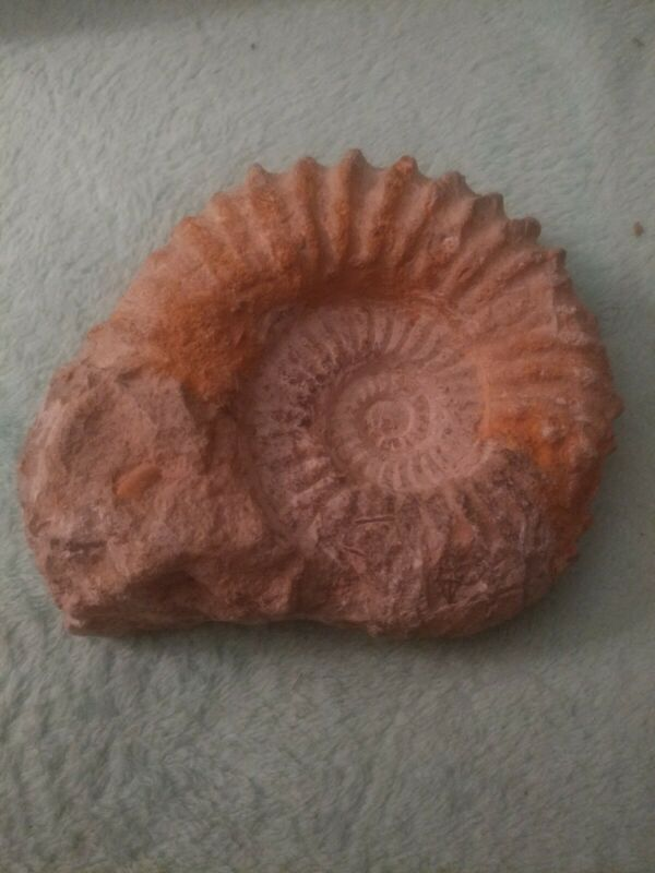 """Huge Ammonite Fossil Sea Shell 3lbs 5"""""""