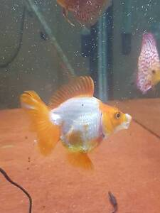 Short fin Ryukin Red/white Noble Park Greater Dandenong Preview