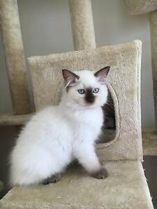 Pedigree Ragdoll Kittens Doreen Nillumbik Area Preview
