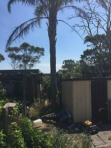Palm tree tall mature Palm tree approx 7m talks Endeavour Hills Casey Area Preview