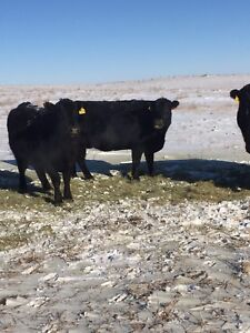 39 head black angus cows