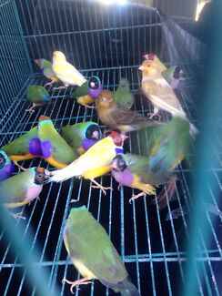 Finches for sale   Kingswood 2747 Penrith Area Preview