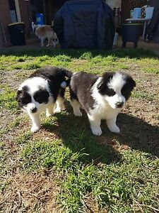 Pure bred border collie puppies for sale Lake Albert Wagga Wagga City Preview