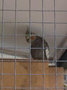 Cockatiels 15 weeks old Batemans Bay Eurobodalla Area Preview