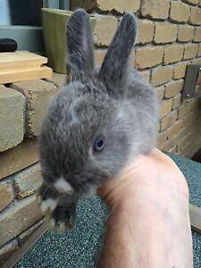 Baby bunnies Greensborough Banyule Area Preview