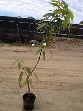 Plants mango tree Midvale Mundaring Area Preview