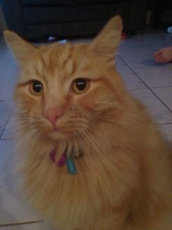 Missing cat Quinns Rocks Wanneroo Area Preview