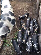 Berkshire cross spotty piglets Karoonda Karoonda Area Preview