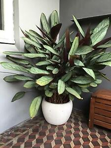 Plant with pot Randwick Eastern Suburbs Preview