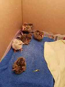 Chicks not long hatched Metford Maitland Area Preview