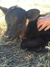 Quality cows and calves Raymond Terrace Port Stephens Area Preview