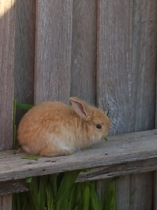 Baby rabbits Narre Warren South Casey Area Preview