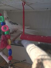 Hand raised cockatiel and cage for sale! 80$ Queanbeyan Queanbeyan Area Preview