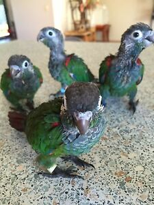I'm Handraising baby conures now! DNA results are back Mudgeeraba Gold Coast South Preview