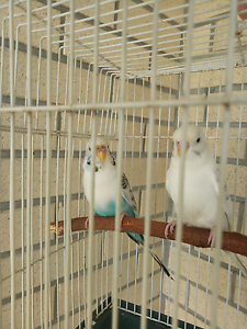 2 budgies male & female Deception Bay Caboolture Area Preview