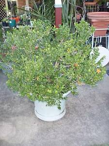 JAPANESE BUXUS (BOX HEDGE PLANT) Casula Liverpool Area Preview