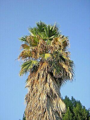 WASHINGTONIA FILIFERA offerta 40 piante IN ALVEOLO palma californiana no robusta