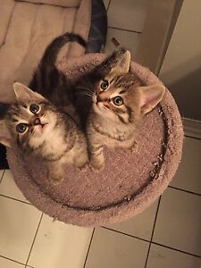 Adorables chatons Maine Coon x Bengal