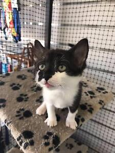 Kittens available for Adoption Kwinana Town Centre Kwinana Area Preview