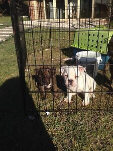 3/4 French bulldog pups Nowra Nowra-Bomaderry Preview
