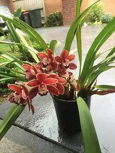 Cymbidium orchid Wheelers Hill Monash Area Preview