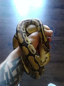 fire female ball python $150
