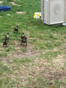 Ducklings!!!!!
