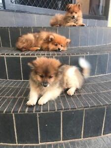 Pomeranian Cross Japanese Spitz Puppies For Sale Dogs Puppies