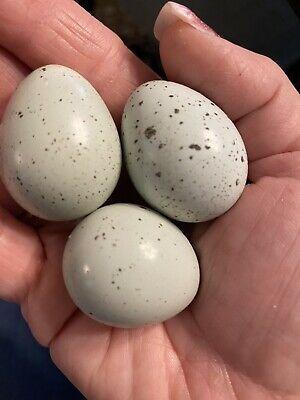 24 Rare Celadon Blue Gene Quail Hatching Eggs