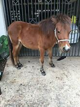 Pony Colt for sale Stuart Townsville City Preview