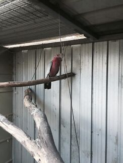Female galah