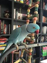 Tame indian ringneck pair with cages and accessories. Jimboomba Logan Area Preview