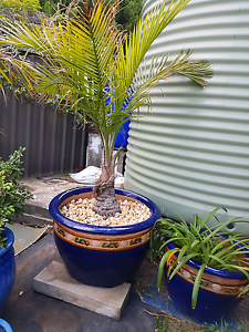 2xlarge pots with palms & pebbles 64w 40 h 2x medium pots with pl Wollongong Wollongong Area Preview