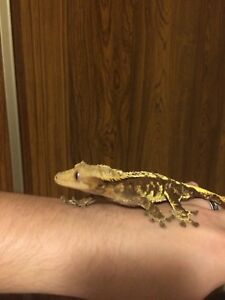 Crested Gecko's