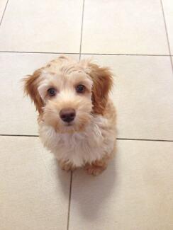 Mini spoodle puppy