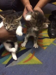 Tabby Kittens Parafield Gardens Salisbury Area Preview