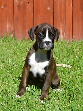 Purebred Boxer Puppies Buderim Maroochydore Area Preview